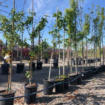 kinney-nursery-trees